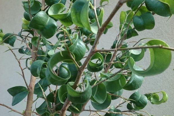 Ficus Barok