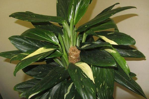 filodendron-kobra