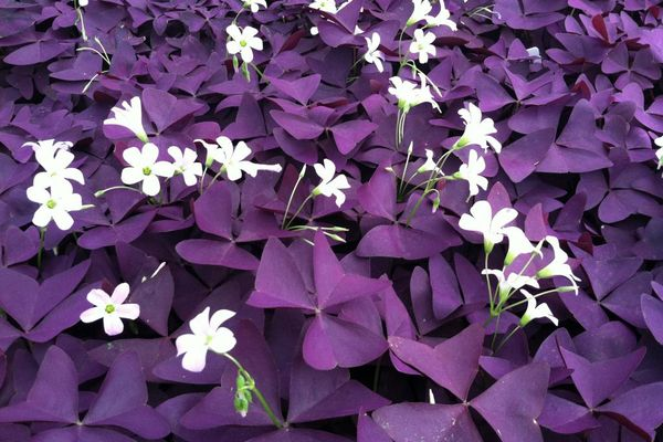 Кислица Oxalis triangularis
