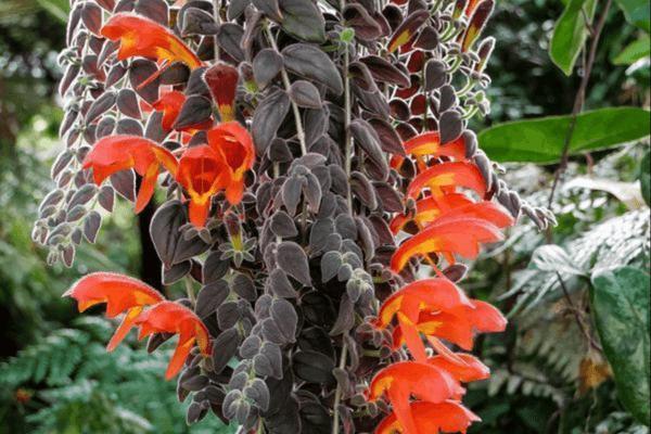 Колумнея Gloriosa