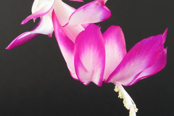 Сорт Lavender fantasy