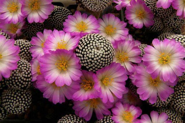 Mammillaria Luthyi