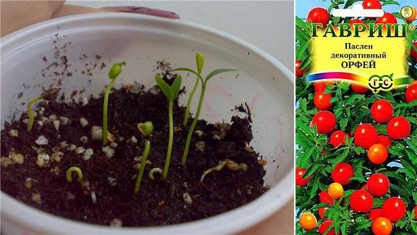 Размножение паслена домашнего семенами
