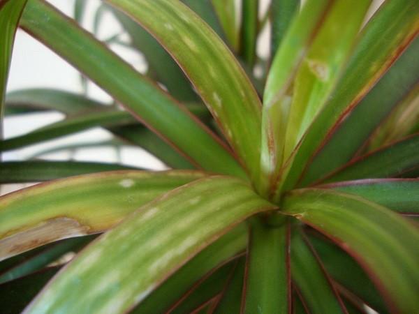У драцены маргината на листьях коричневые пятна