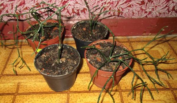 Загнивание корней и стебля хатиоры