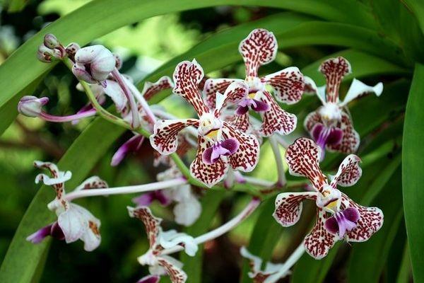 Орхидея трехцветная