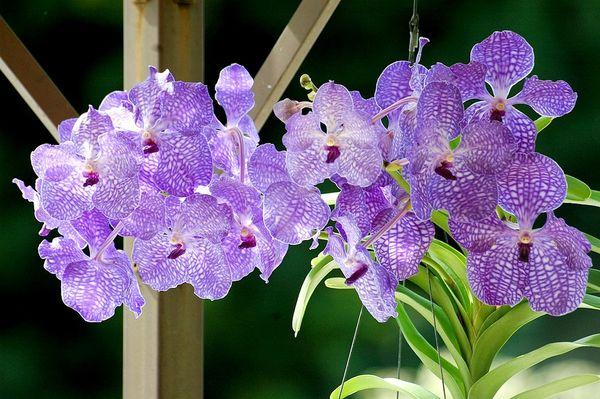 Цветение орхидеи Ванда