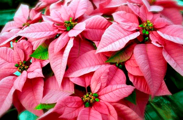 Цветущая пуасеттия