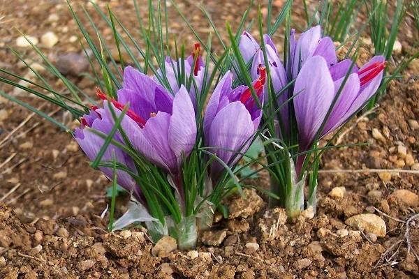 Крокус цветет