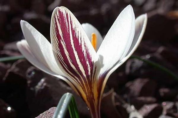 Крокус двуцветковый