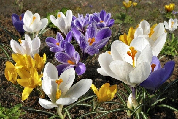 Крокусы: описание растения