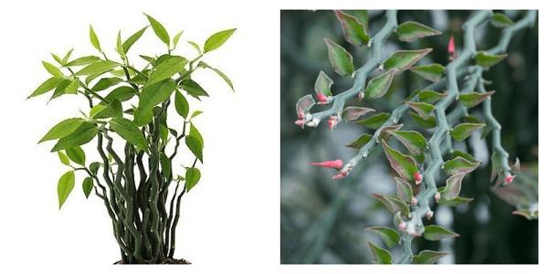 Pedilanthus Финка