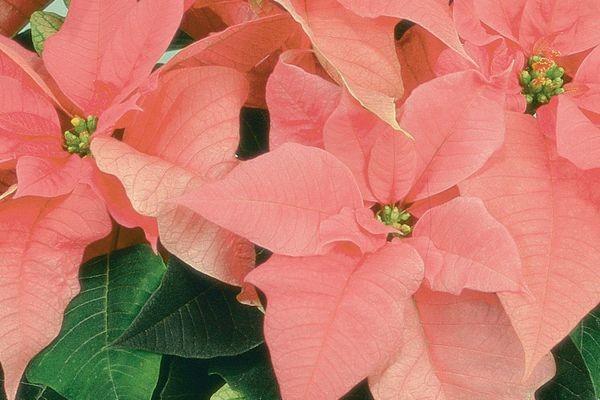 Cortez Pink