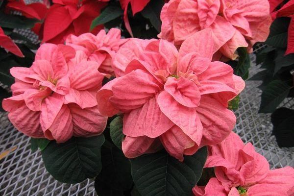 Махровая Winter Rose