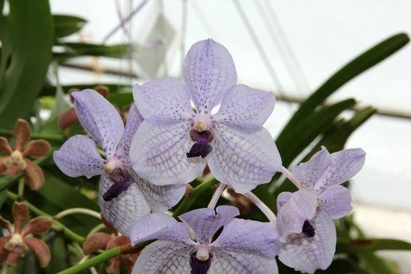 Орхидея Ротшильда