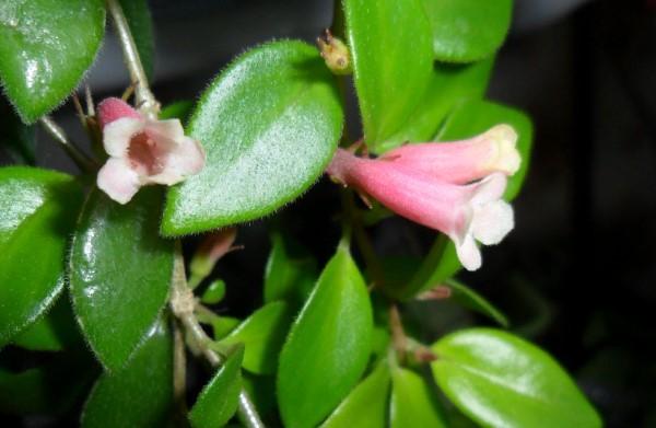 N. fritchii
