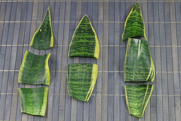Размножение сансевиерии листом