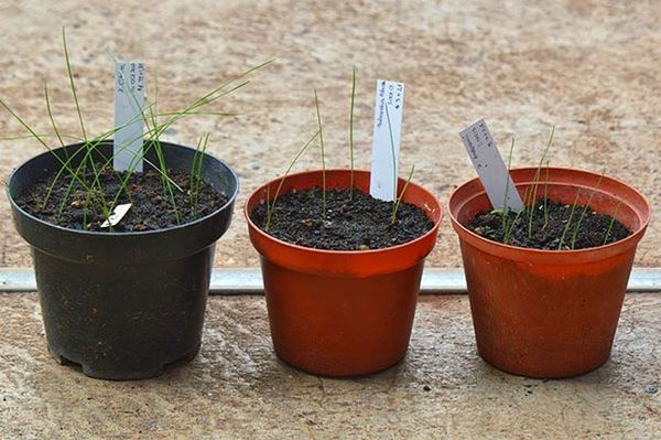 Размножение зефирантеса семенами