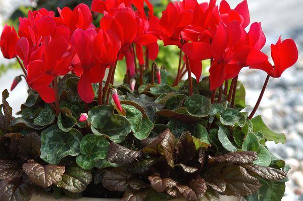 Цикламен персидский: условия для выращивания