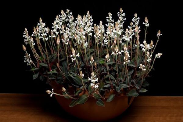 Орхидея лудизия: описание растения