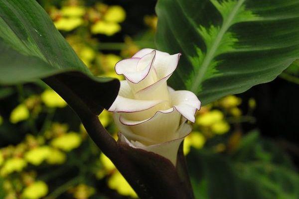 Как цветет калатея