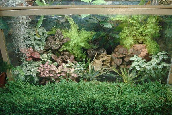 Фиттония в аквариуме