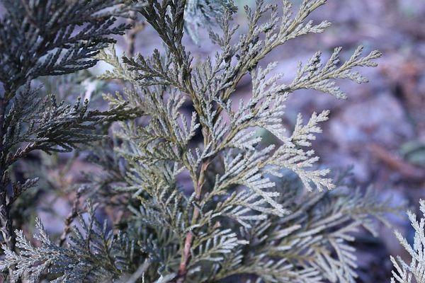 Содержание кипариса зимой