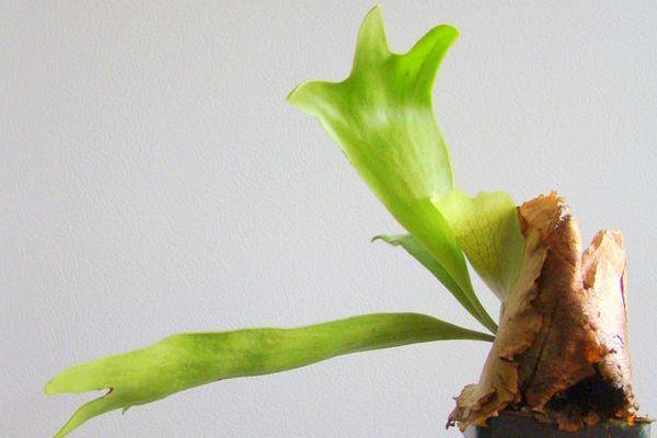Размножение платицериума отпрысками