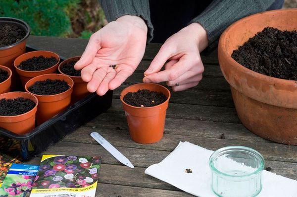 Семена тунбергии