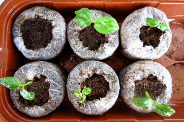 Циссус: размножение семенами