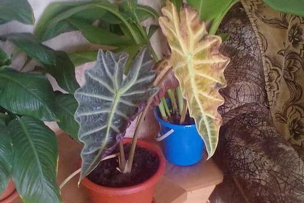 Желтеют опадают листья у алоказии