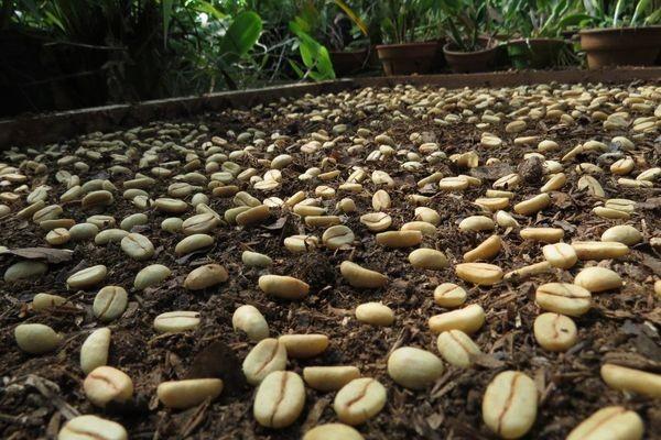 Арабика из семян
