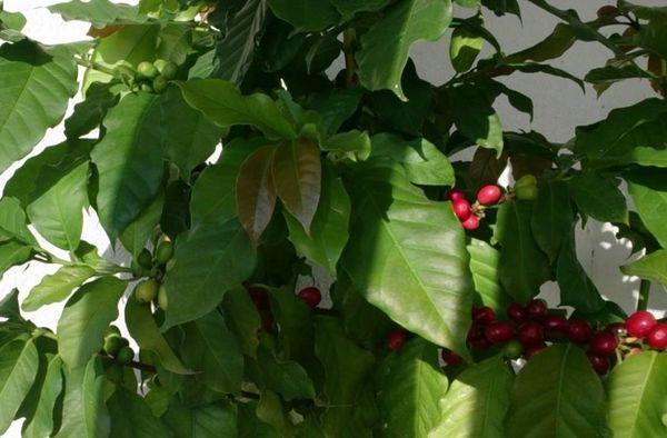 Кофе арабика: описание