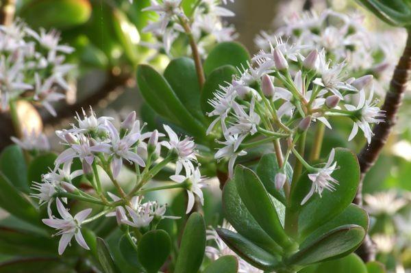 Крассула: цветение