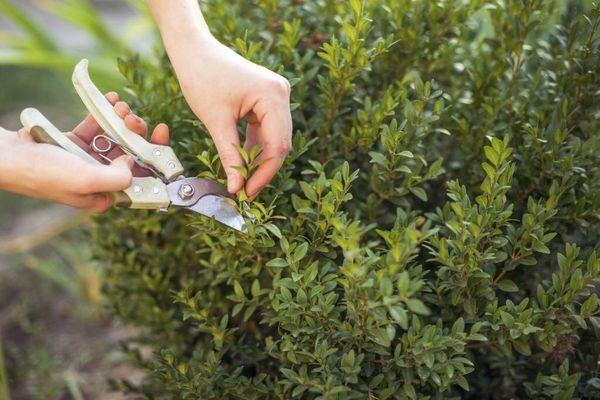Обрезка миртового дерева