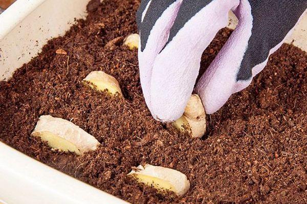 Почва для высадки имбиря