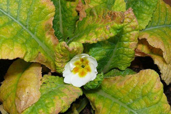 primula-bloezni