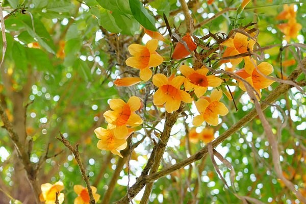 Radermachera ramiflora