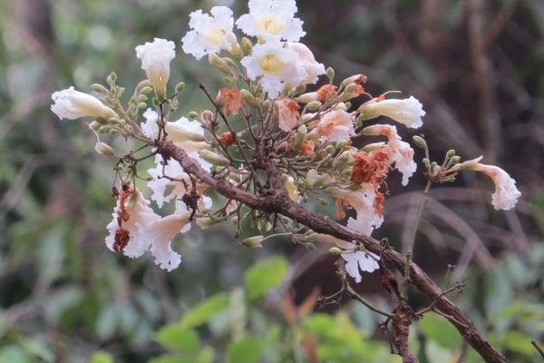 Древесноплодная