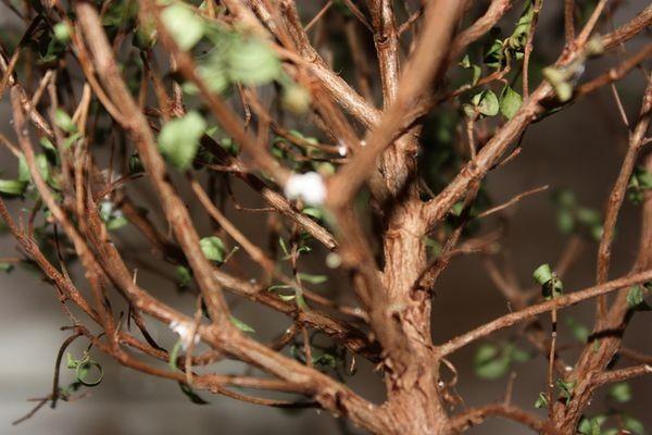 Болезни миртового дерева