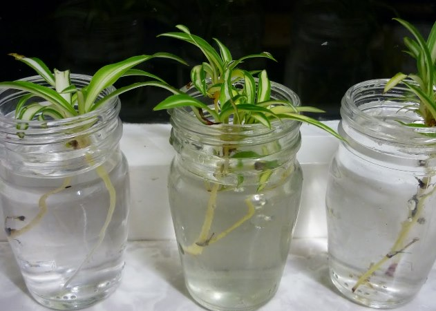 размножение хлорофиттума