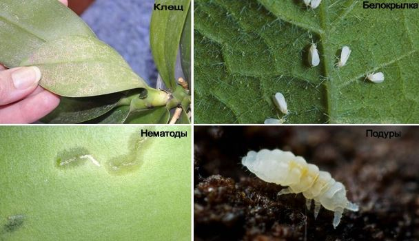 вредители орхидеи