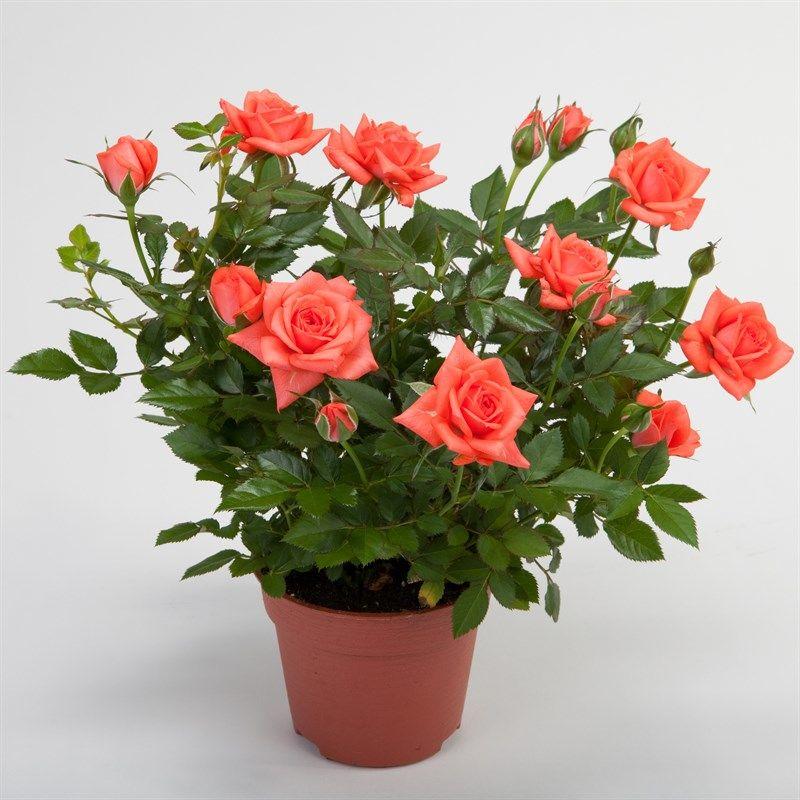 комнатные цветы розы фото гигантских