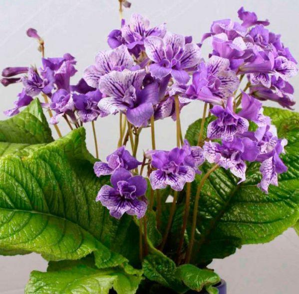 Стрептокарпусы: уход в домашних условиях, выращивание, фото