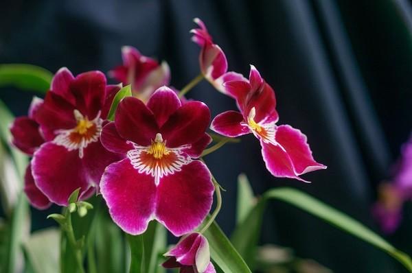 Цветок мильтония уход в домашних условиях
