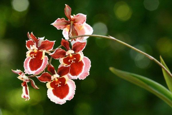 Орхидеи Онцидиум: уход в домашних условиях за цветами