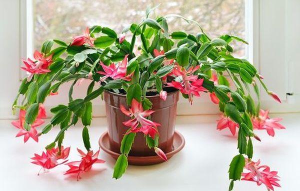 Уход за цветком-декабристом (шлюмбергерой) в домашних условиях