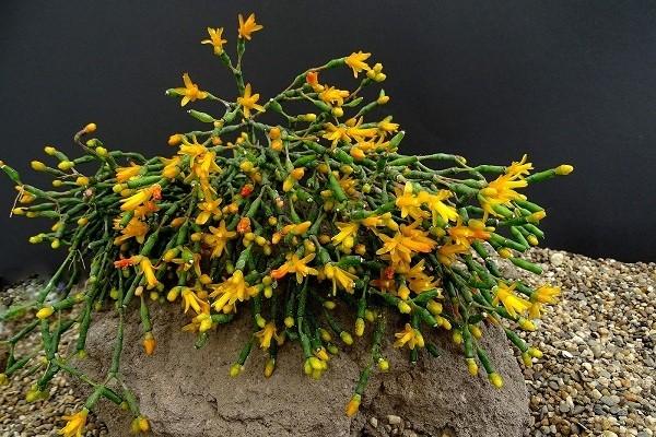 Комнатное растение хатиора: уход в домашних условиях