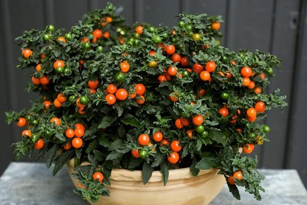 Оранжевая ягода в цветке как называется