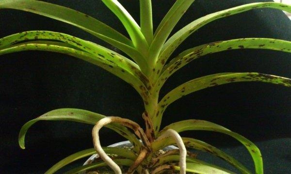 Как выращивать орхидею ванда в домашних условиях?